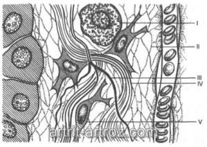 схема соединительных тканей